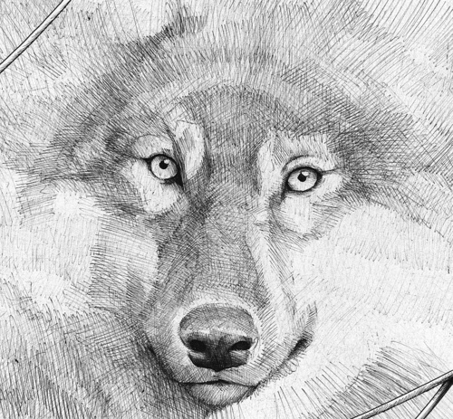 wolf: Galleries, Dogs Day, Wolves