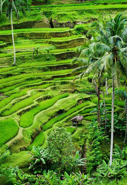 Rice terraces of Tegallalang in Bali, Indonesia (unfortunately it isn't so green here right now)