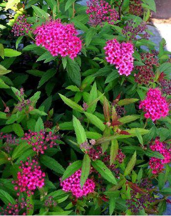 1000 id es sur le th me arbuste haie sur pinterest haie persistant rhododendron et erable du for Arbuste persistant ombre le havre