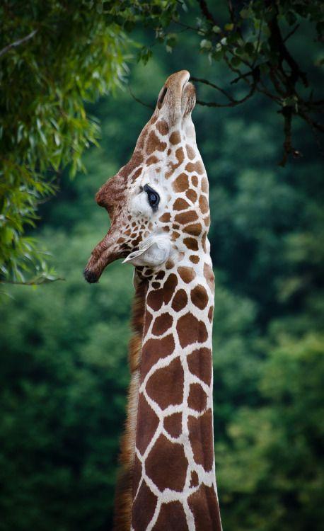 creatures-alive: Reticulated giraffe / Giraffa camelopardalis reticulata by stoplamek