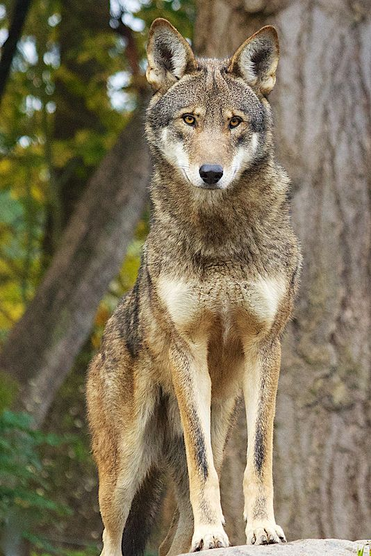 SPEAK OUT BEFORE IT'S TOO LATE!  Tell USFWS you support red wolf recovery!  The U.S. Fish & Wildlife Service is considering the future of the Red Wolf Recovery Program.  With less than 120 red wolves remaining in the wild, it is critical that this program continue.  PLZ Sign and Share!