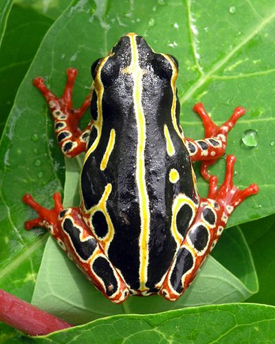 17 Best Images About Types Of Frogs On Pinterest