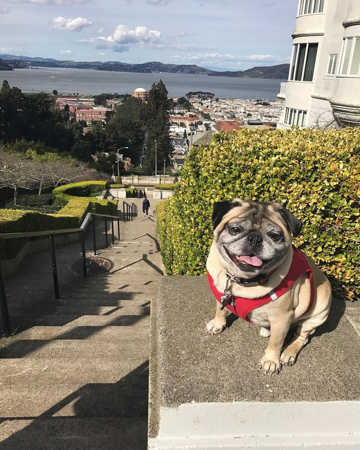"""17 Likes, 3 Comments - Hi I'm Buzz (@theycallmebuzz) on Instagram: """"Good morning!☀️ It was such a nice day in San Francisco! . . . . . #dog #dogs #puppy #love #pug…"""""""
