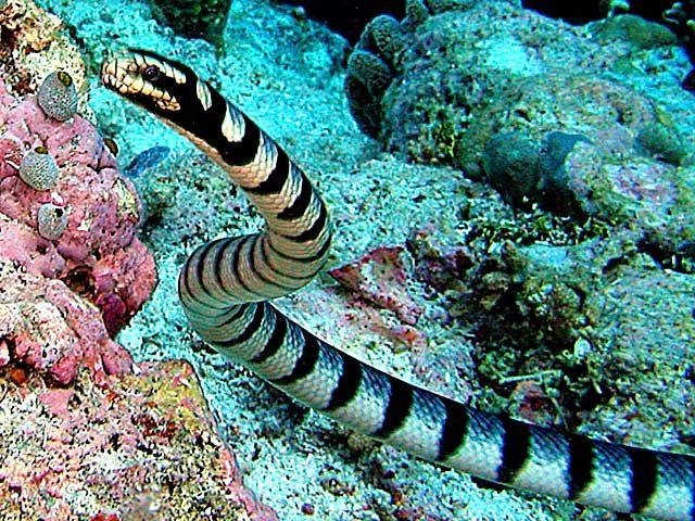 Banded Sea #Krait. #snake #reptile
