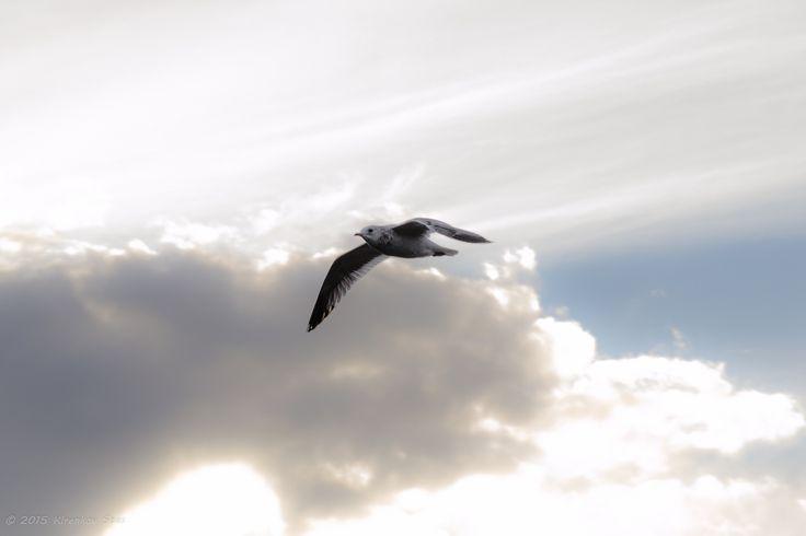 Seagull - null