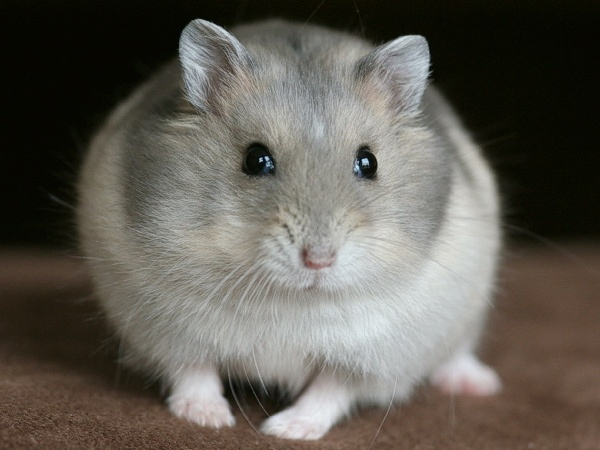 Winter White Russian Dwarf Hamster. It's a Pascal.