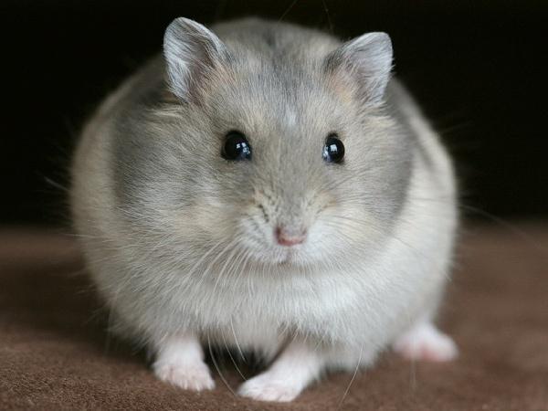 Winter White Russian Dwarf Hamster | Hamsters | Pinterest ...