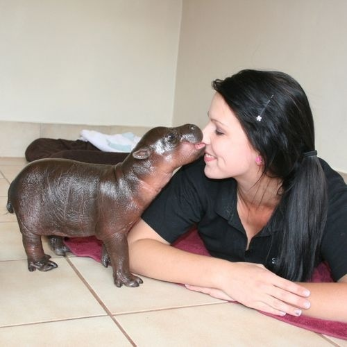 Awww! And this baby hippo is named after my favourite member of the royal family too, Prince Harry. somuchsongPygmyhippo, Baby Hippo, Prince Harry, Babyhippo, Pets, South Africa, Baby Animal, Pygmy Hippo, Kisses