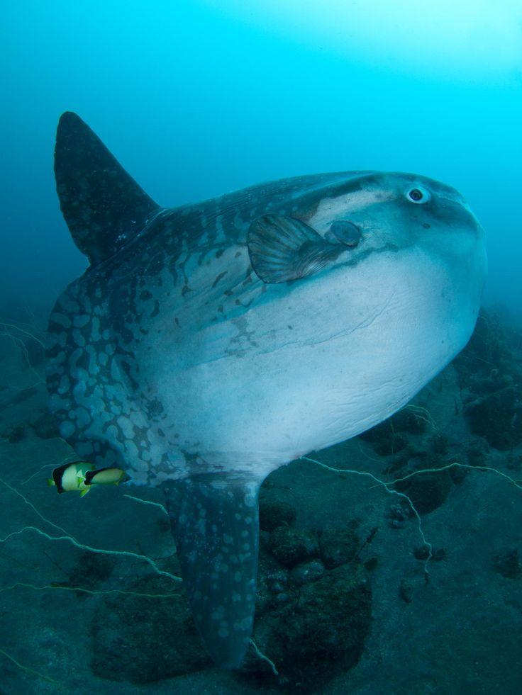 78 best images about sunfish mola mola on pinterest for Mola mola fish