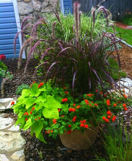 Purple fountain grass, sweet potato plant, lantana