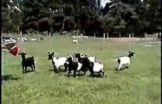 7 GIFs Of Adorable Fainting Goats