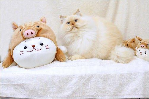 #интересное  Смешной гималайский кот (13 фото)   Забавный пушистый гималайский кот.       далее по ссылке http://playserver.net/?p=109142