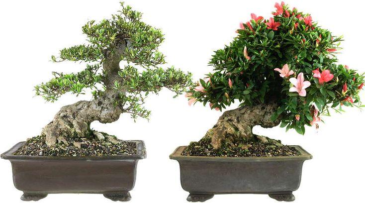 rhododendron indicum satsuki bonsai | Satsuki-Azaleen (Rhododendron indicum) - Bonsai mit starkem Stamm ...