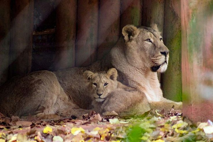 Mamma and cub and Paignton zoo