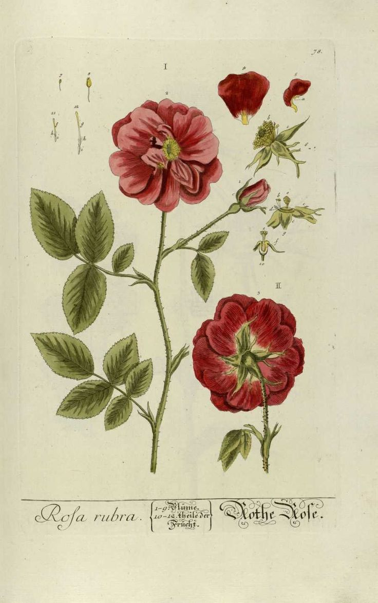 12027 best images about botanical art on pinterest elizabeth blackwell libraries and vintage. Black Bedroom Furniture Sets. Home Design Ideas
