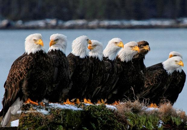 A young brown-headed bald eagle stands out among his family. Pam Mullins snapped this shot near her home in Prince Rupert, British Columbia, Canada.