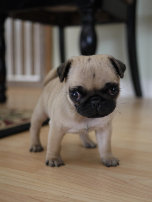 Baby pug @Stephanie Close Francis Clardy