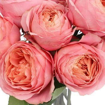 Pink Romantic Antike Garden Roses - look like peonies!