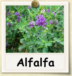 How to Grow Alfalfa | Guide to Growing Alfalfa