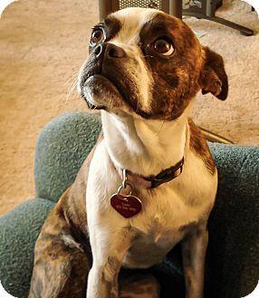 Savannah, GA Boston Terrier/Boxer Mix. Meet Beulah, a