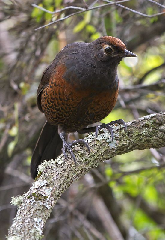 Black-throated huet-huet (Pteroptochos tarnii) | Huerquehue (IX), Chile