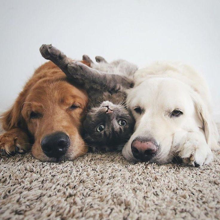 Os cães Watson e Kiko são os melhores amigos do gato Harry – amizade …   – Watson, Kiko & Harry