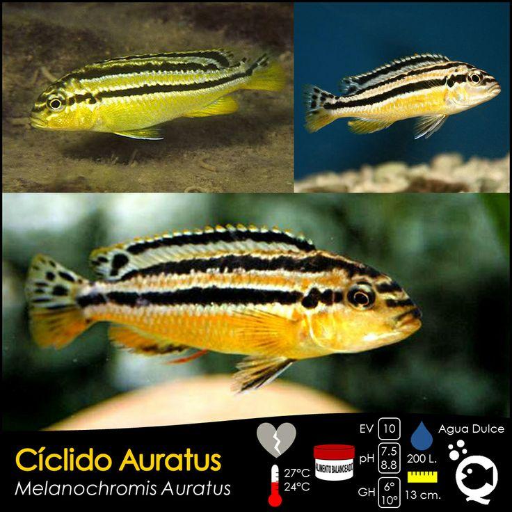 Cíclido Auratus.