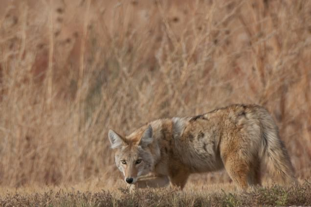 8 common coyote hunting mistakes