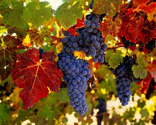 Vineyard.: