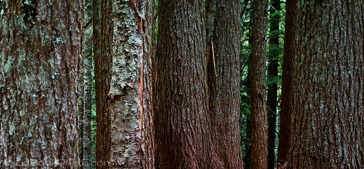 thick forest of tyrunks - Google Search