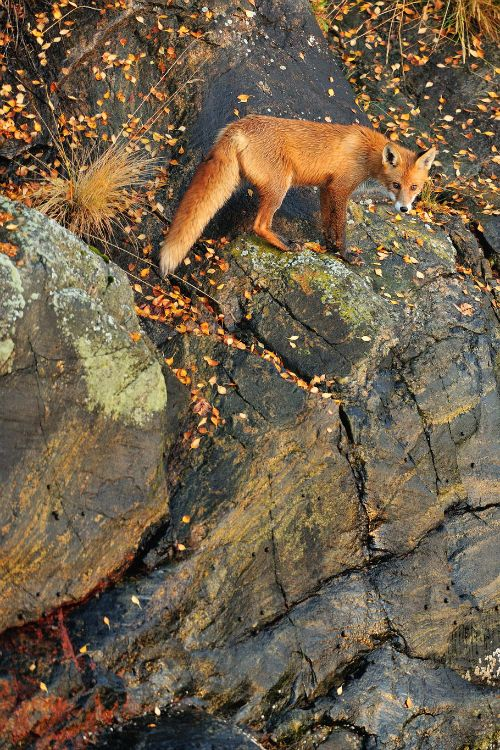 Foxy on the Rocks by: Yves Adams
