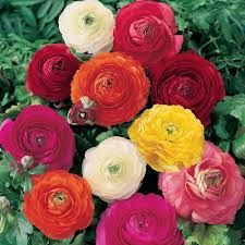 Image result for •	Ranunculus
