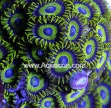 Zoanthids: Live Salt Water Zoanthids and Palythoa Coral For Sale