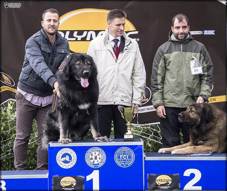 Caucasian shepherd dog  Best of breed dog show