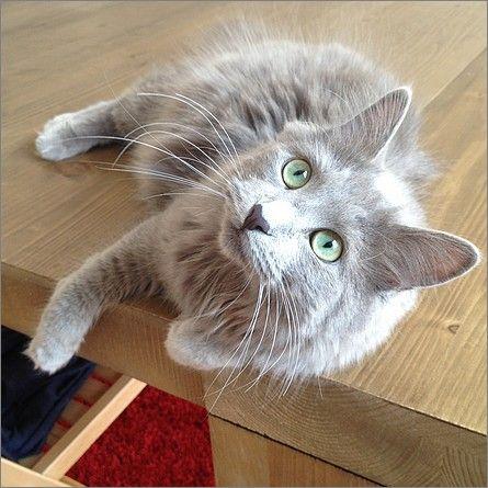 Le chat nebelung de Lou | Esprit félin