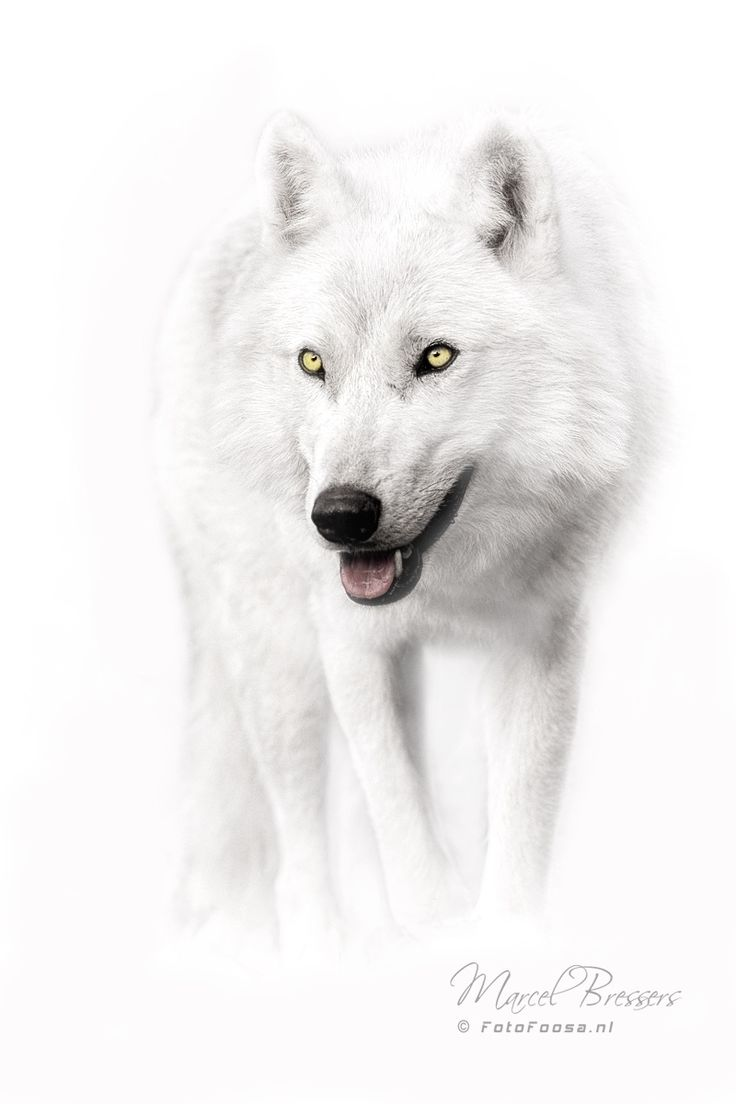 ~~White Wolf   Arctic Wolf   by Marcel Bressers~~