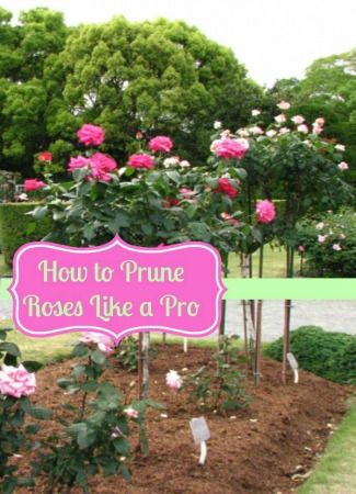 how to care for rose bushes after winter