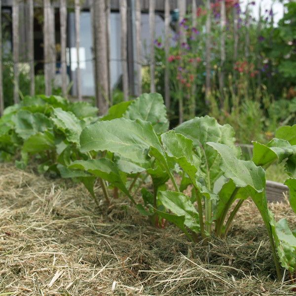 Au potager, au pied des betteraves, de l'herbe sèche