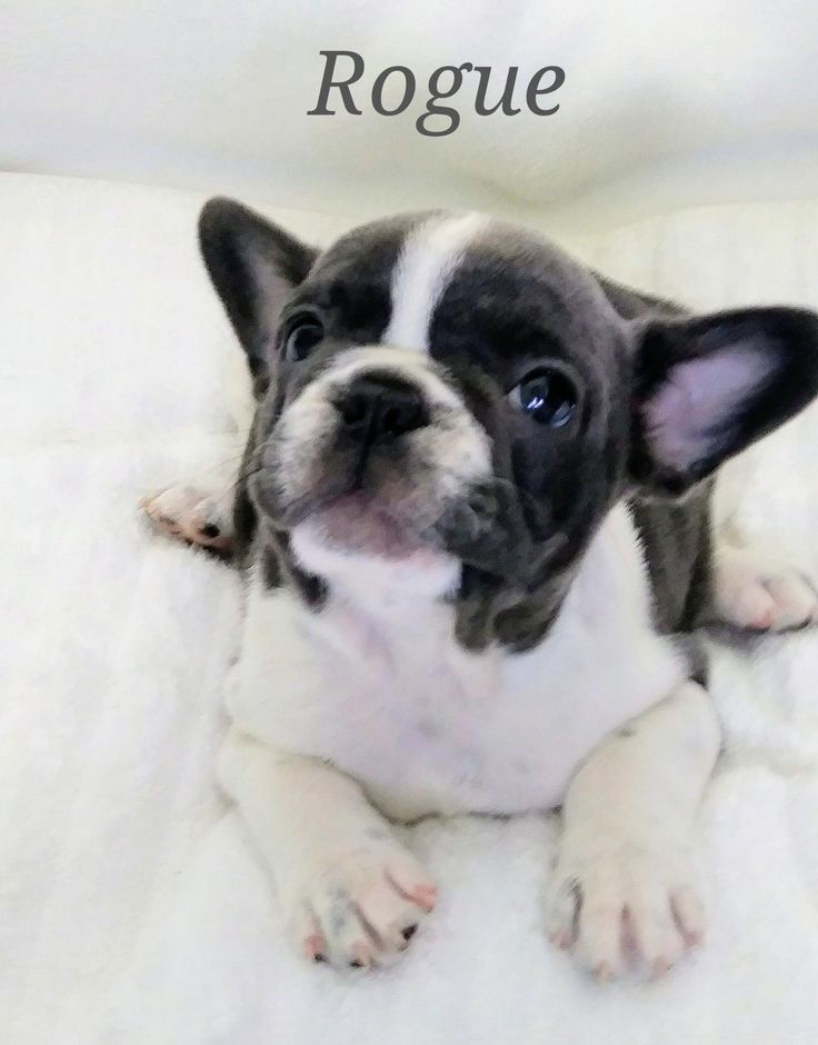 French Bulldog Playful And Smart Bulldog Puppies French