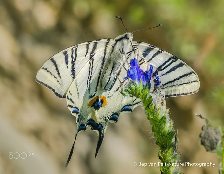 Scarce swallowtail feeding on vipers bugloss (II) - Scarce swallowtail - Iphiclides podalirius, feeding on Echium vulgare (Viper's bugloss) at the river Dragonja at the border between Croatia and Slovenia