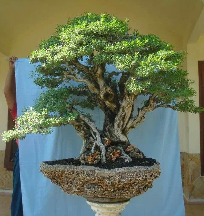 215 Best Bonsais Images On Pinterest Bonsai Trees Bonsai Garden