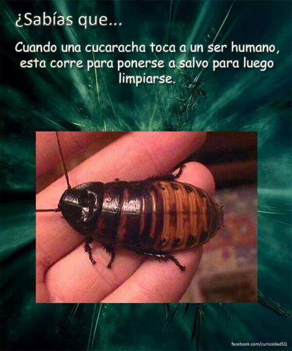 Sabías que? Cuando una cucaracha toca a un ser humano, esta corre para ponerse a salvo para luego limpiarse.