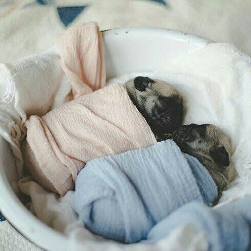 How cute are these Pug babies?! ??? www.jointhepugs.com ???