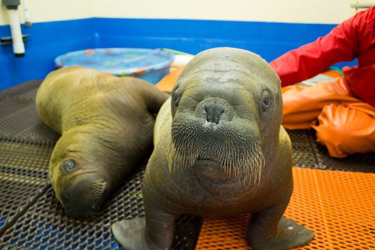 """""""What It's Like To Snuggle With A Baby Walrus"""" -- half a dozen ADORABLE photos at the click-through!"""