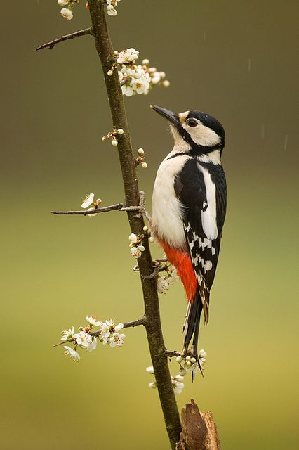 Great Spotted Woodpecker (Dendrocopos major). It is widespread throughout Europe and northern Asia - from Ireland and Portugal to China and Siberia.
