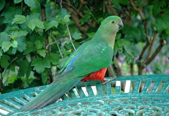 This is the hen King parrot. She doesn't have the beautiful red head of the male but she has lovely green feathers with red on her belly and glimpses of red elsewhere
