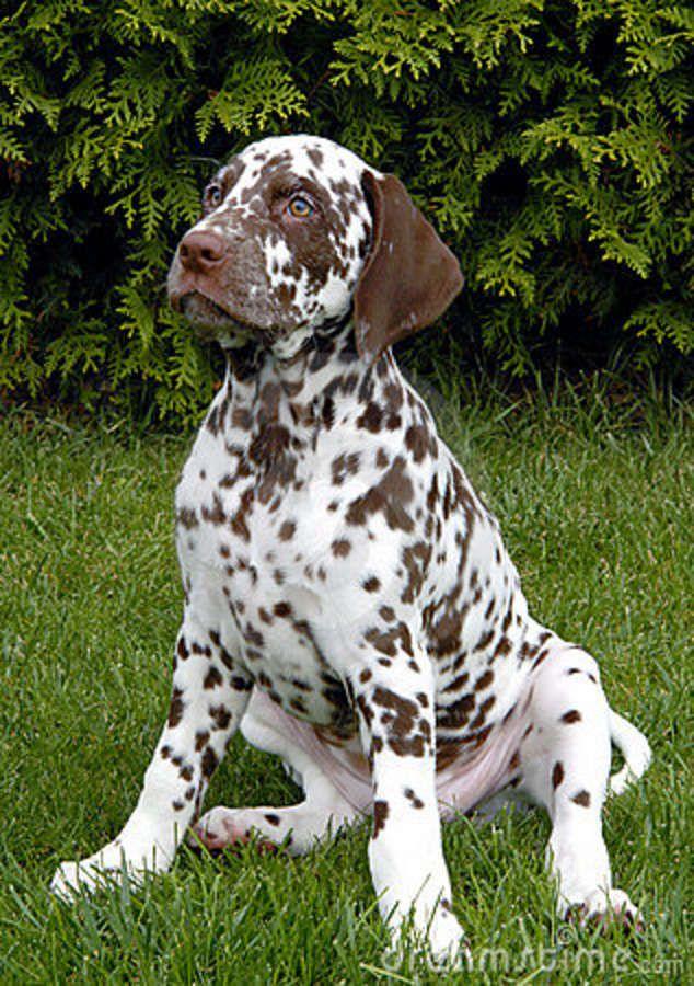 Dog Training Dalmatians