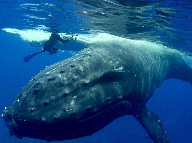 Wild Whale Rushes To Save Diver From Giant Shark | Ballena, Ataque de  tiburón, Ballena jorobada