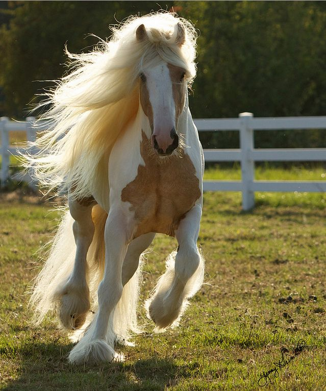 {A palomino Gypsy stallion named Dragon Fire} ♥I'm not a horse person, but this one is stunning!