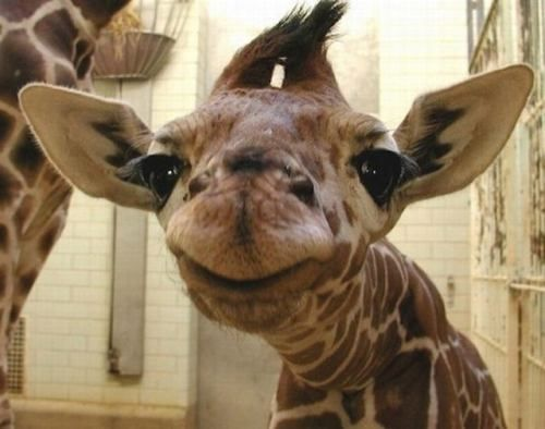 Look Mama...A Kiss, Baby Giraffes, Make Me Laugh, Too Funny, Baby Animals, Smile, So Funny, Cute Babies, Adorable Animal